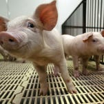 Does air coming from hog confinements contain manure?