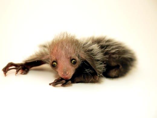 Denver Zoo Welcomes Extremely Rare Baby Aye Aye