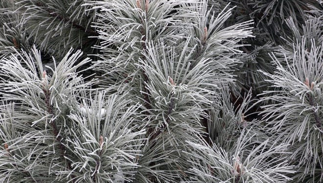 Pine needles are coated in snow.