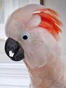 peach-cockatoo