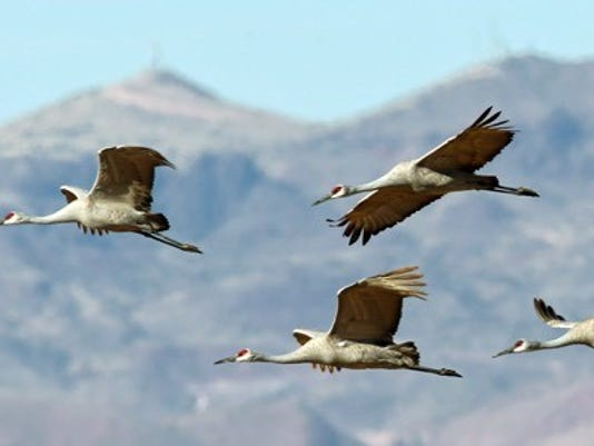 sandhill cranes in-flight.jpg