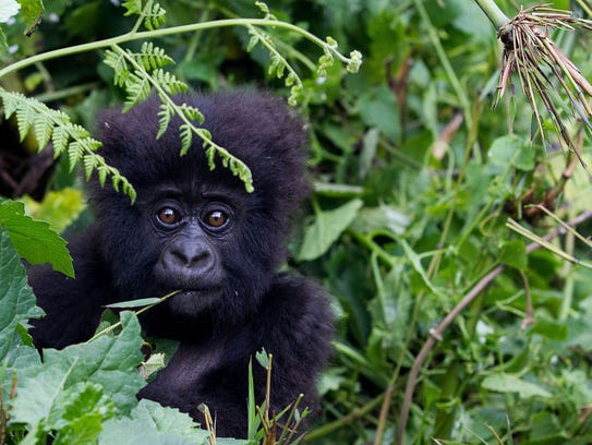 A baby mountain gorilla is pictured in the Sabyinyo