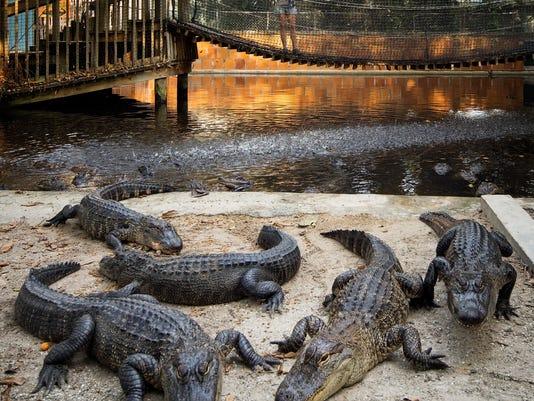 -Wonder Gardens gators.jpg_20140805.jpg
