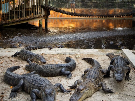 Gators lounge on Alligator Beach at Everglades Wonder Gardens. The park boasts 40 young gators ranging from 3 feet to 6 feet long.
