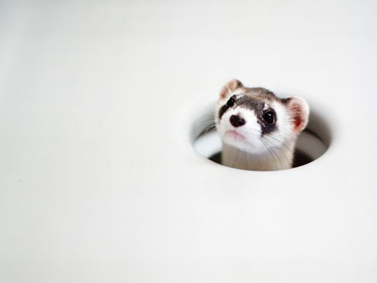 A black-footed ferret looks out from its cage at the Phoenix Zoo in this file photo. The zoo and several national organizations where the endangered species is kept to help increase numbers in the wild.