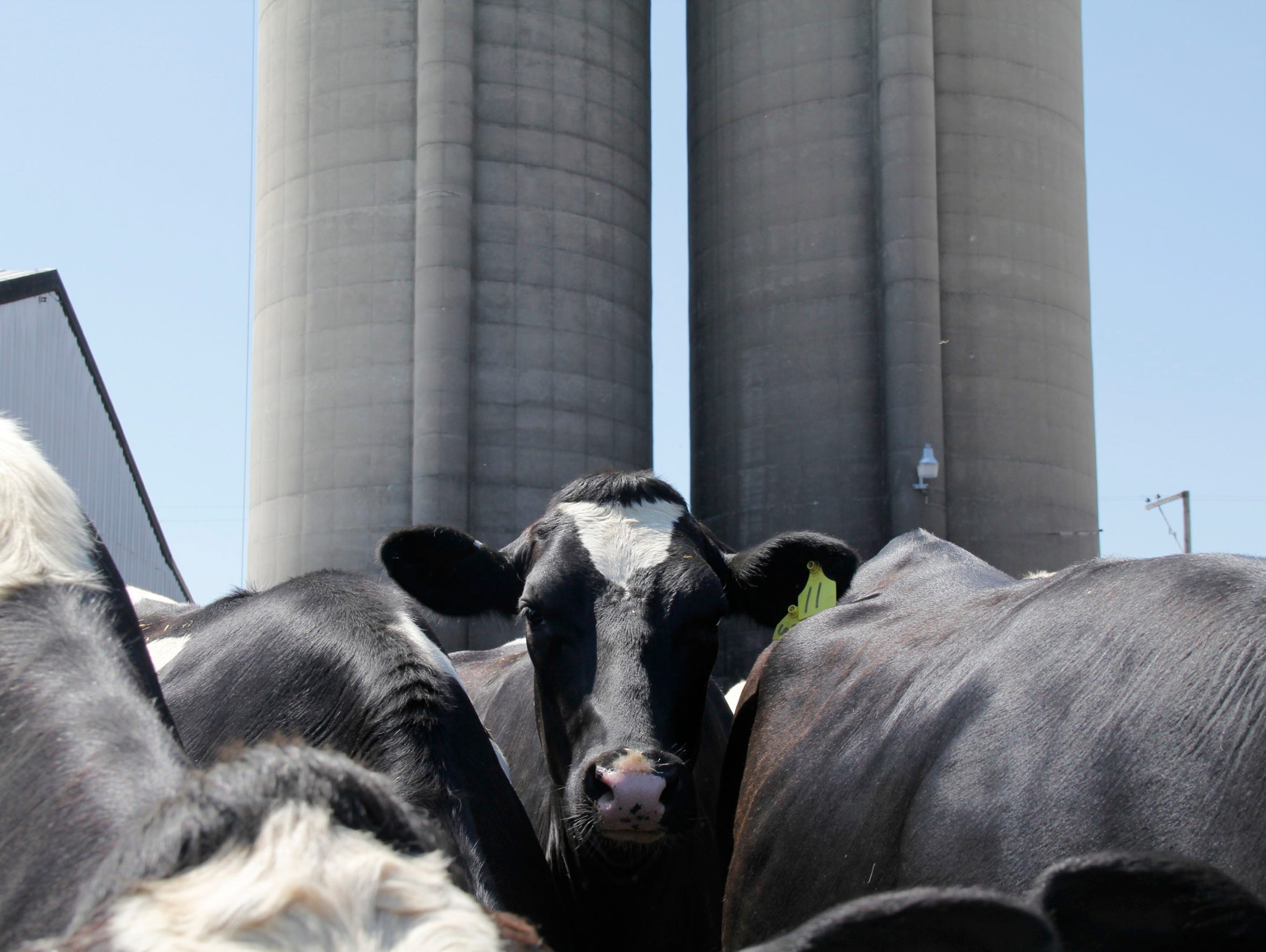 Manure from dairy operations is blamed in part for