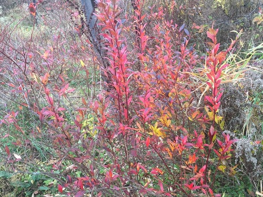 "This is brilliant red foliage on blueberry bushes in autumn, a reason to include blueberries in ""foodscaping"" your yard."