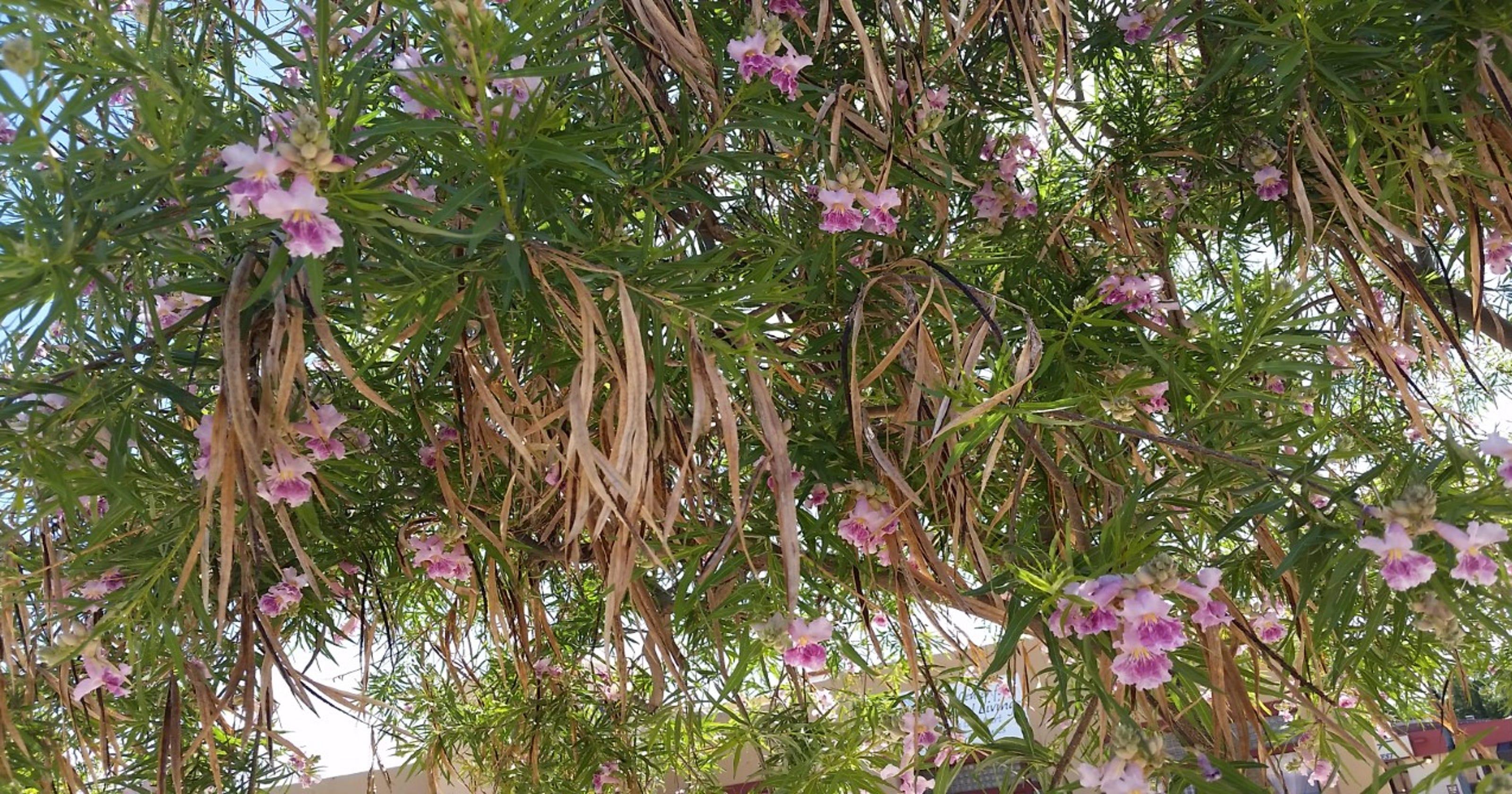 Yard garden how to best manage a desert willow mightylinksfo
