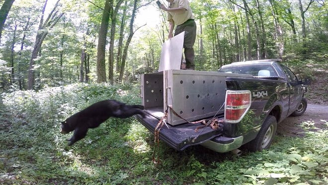 Summitt Bear, named for former Lady Vols basketball coach Pat Summitt, was released into the wild in Sullivan County on Sunday, Aug. 6, 2017, by the Tennessee Wildlife Resources Agency and Appalachian Bear Rescue.