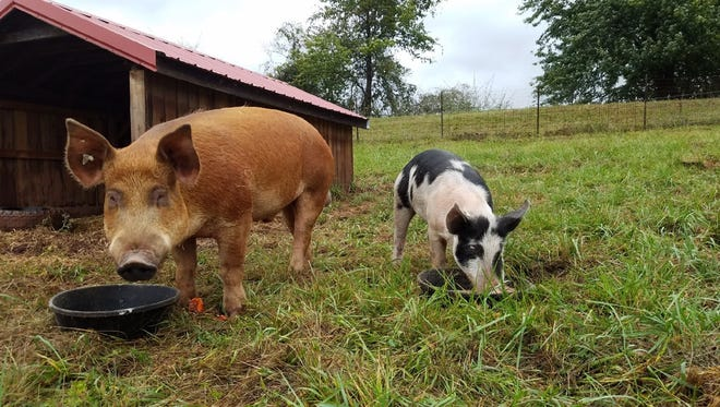 Mr. T, left, and Matilda found a home together at Poplar Spring Animal Sanctuary in Maryland, thanks to the efforts of Safe Haven Farm in Poughquag.