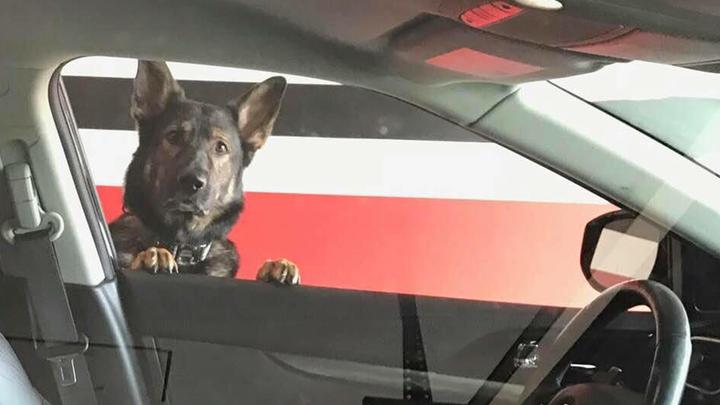 Doc the German Shepherd looking for his owner, Major