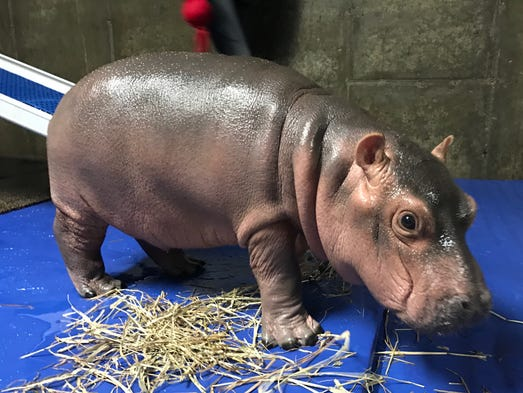 Fiona the baby hippo takes a walk.