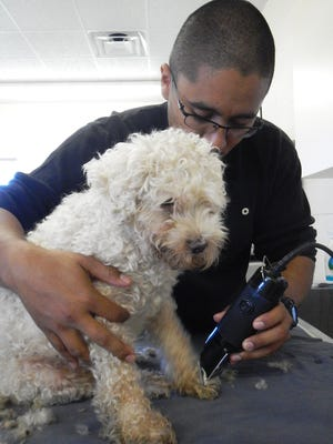Kelvin Chupina with the Humane Society of Vero Beach and Indian River County clips a rescued poodle's matted fur.