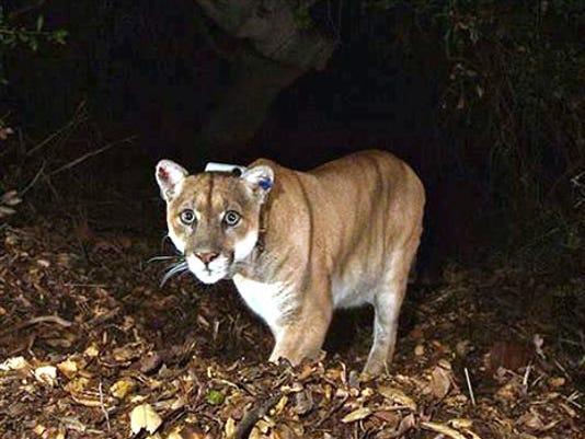 Cougar Under House