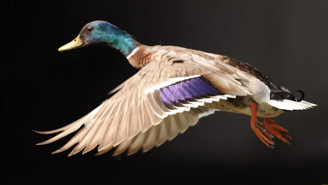 A duck takes to flight.