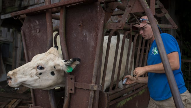 Curtis Coombs works on administering a pink eye treatment with his few remaining dairy cattle at his farm in Smithfield, Kentucky. Coombs dreamed of being a dairy farmer most of his life and bought in to the family operation in 2011. With Dean's Milk closing in Louisville, he has already sold most of his dairy herd. June 25, 2018