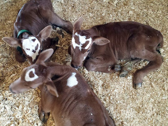 A Montbéliarde cross first calf heifer had four calves on Aug. 6 at the Amherst Junction farm of Randy and Robin Oliver. One, a bull calf, died shortly after birth. Two bulls and a heifer calf are doing well.
