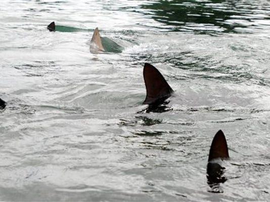 635995932721014361-shark.jpg