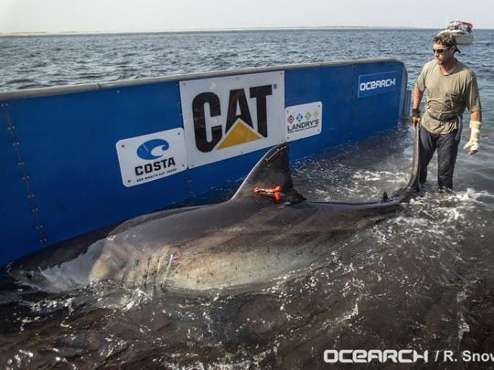 ABOVE: Katharine is a great white shark, tagged with a GPS transmitter.