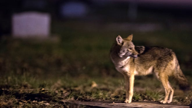 A coyote stands on a grave stone at Lincoln Cemetery in  Montgomery, Ala., on Sunday, Oct. 18, 2015.