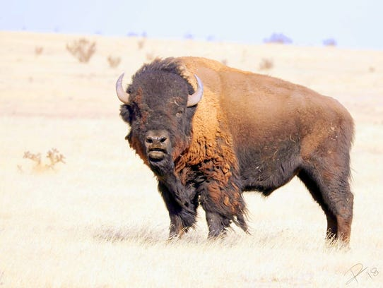 The living anachronism, an American bison.