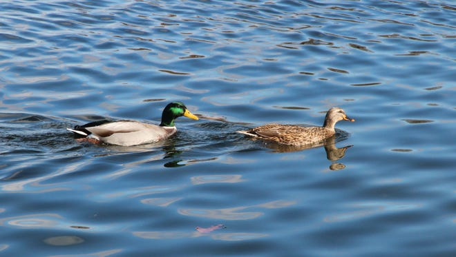 A drake and hen mallard swim on a Wisconsin waterbody.
