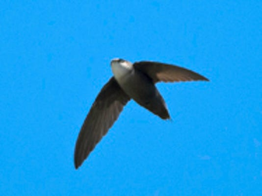 20140812_chimney_swift.jpg