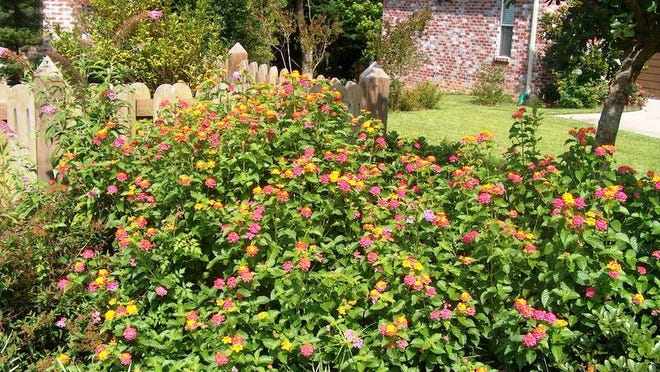 Lantana can be a colorful addition to a late-summer landscape, but it's also among ornamental plants that could be harmful to people and pets.