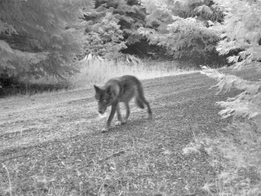 Wolf OR-7's mate in southwestern Oregon