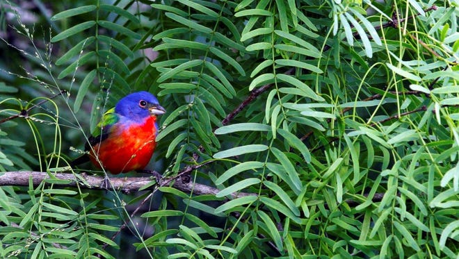 This male Painted Bunting was photographed in David Sikes' backyard in Padre Isles.