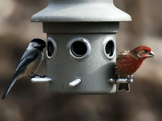 A chickadee, left, and house finch viewed at the Teaneck Creek Conservancy during the 20th annual Great Backyard Bird Count, hosted locally by the the Bergen County Audubon Society.