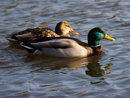 the duck couple