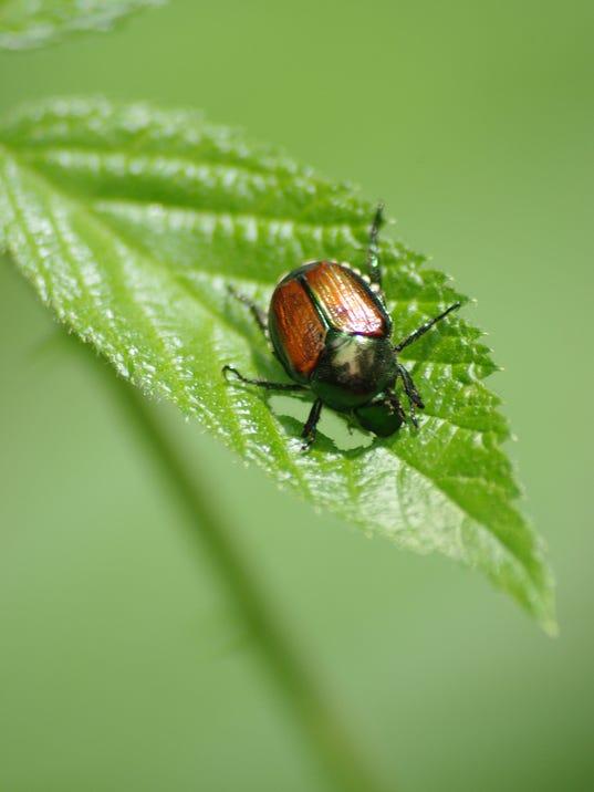 Japanese-beetle.jpg