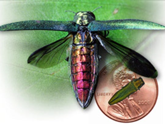A close-up of the invasive emerald ash borer. An illustration showing the invasive emerash ash borer