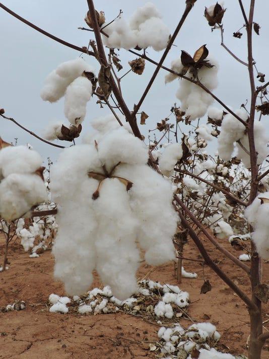 636542480775804004-cotton.jpg