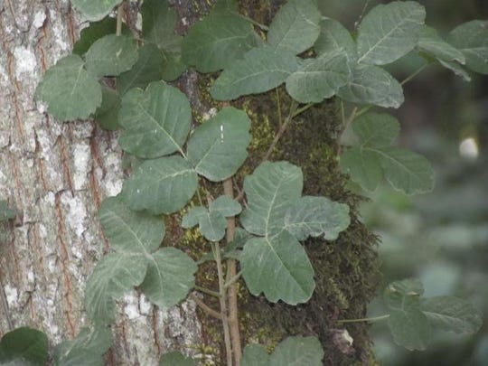 Poison oak is seen at the disc golf course in Keizer Rapids Park. The erect plant has fuzzy, rounded leaves that grow in clusters of three.