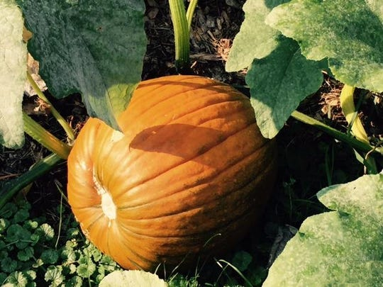 The Great Pumpkin Glow will be at Kingwood Center Gardens on Oct. 17 and 18. Staff has doubled the size of its pumpkin patch on property on the southeastern corner of Park Avenue West and Trimble Road, which Kingwood Center owns.