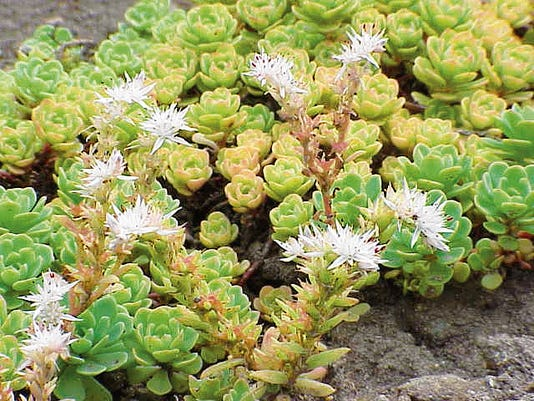 Sedum plants can be used as a very low water requiring lawn replacement.