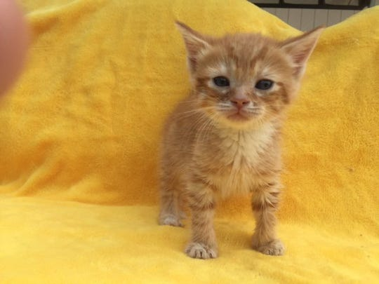 Cute little kittens like Russell don't last long at Caring Fields Felines! And it's kitten season!