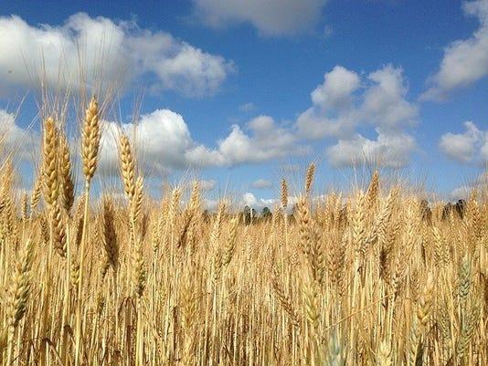 apwheat.jpg