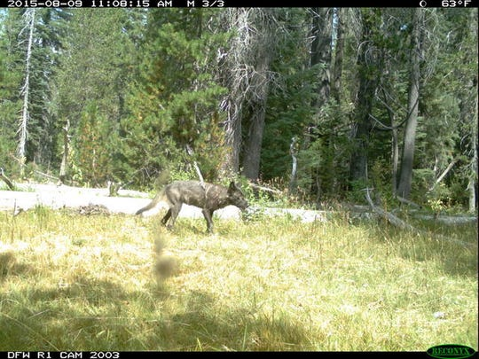 A wolf from a newly discovered pack in California is seen in an image captured on a Fish and Wildlife camera.