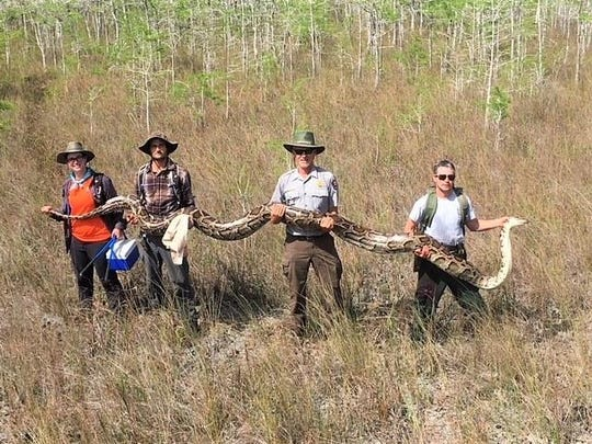 On its Facebook page, the park said it caught the female python using a new approach: radio transmitters on males.