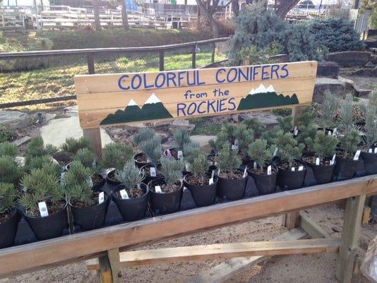 dwarf pines at Ft. Collins Nursery by Bridget Tisthammer.JPG