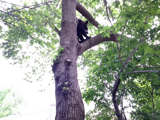 WRT 0605 Bear Tree