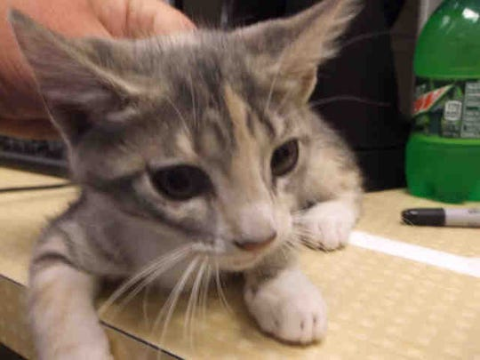 The kitten, Claire, is also a spayed female, ID A145709.