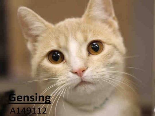 The kitten is Gensing, a short-hair, young, neutered