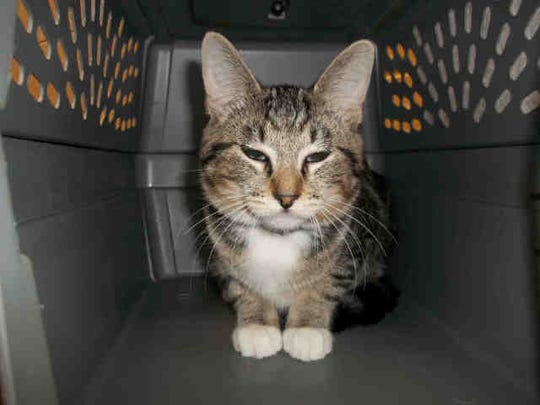 Angelica, ID A125730, is a 2-year-old spayed brown shorthair tabby.