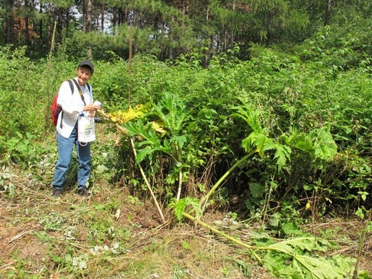 Anne Graham sprays the last of the giant hogweed on the property of Hans and Jill Schabel in Custer on Saturday. Graham, of Stevens Point, and about 20 other volunteers first began working to eradicate the plant on the Schabel's property in 2011.