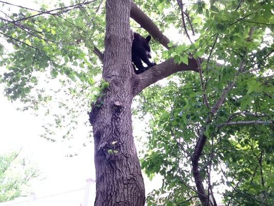 WRT 0605 Bear Tree