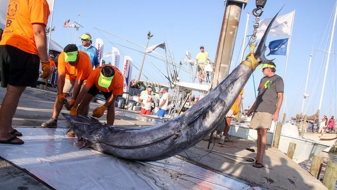 The dock crew hoists a 771.4-pound blue marlin caught by Ben Arnold during the 46th annual Pensacola International Billfish Tournament on Saturday, July 1, 2017.